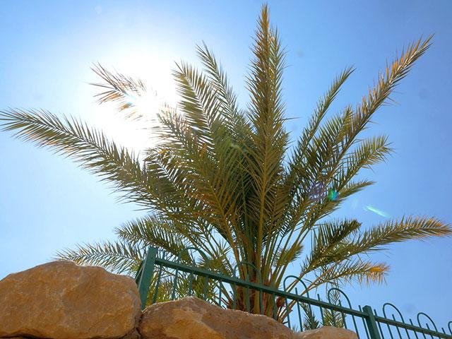 Date palms from 2000-Year-Old Date Seeds. Photo: CBN News