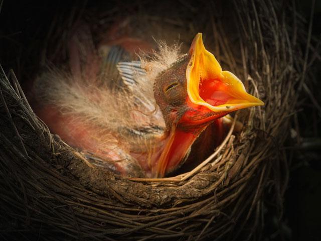 baby-bird-nest_si.jpg