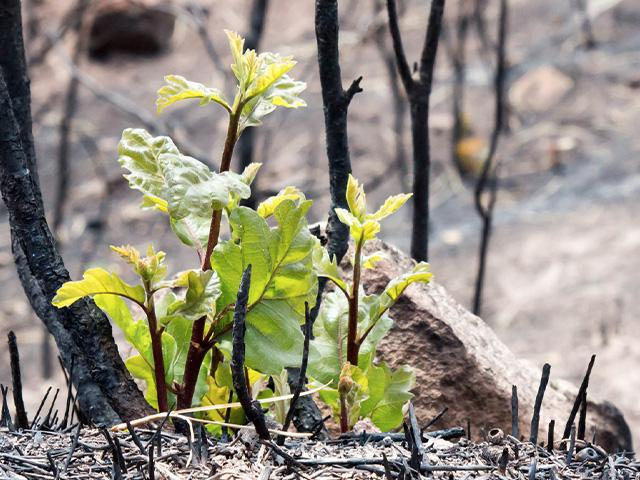 burned forest sprouts new growth