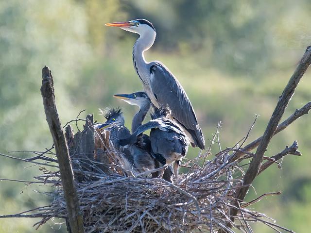 heron nesting with baby herons
