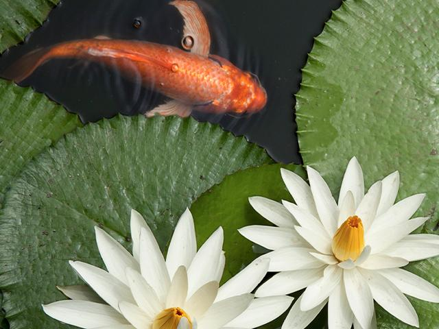 goldfish in a lotus pond