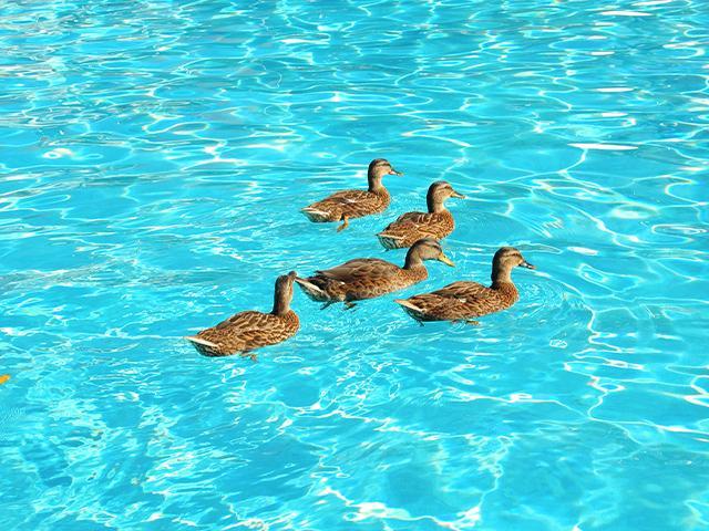 ducks in a swimming pool