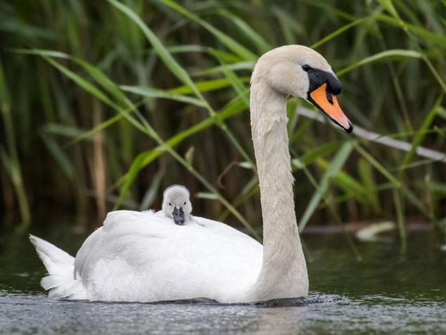 swan-baby-pond_si.jpg