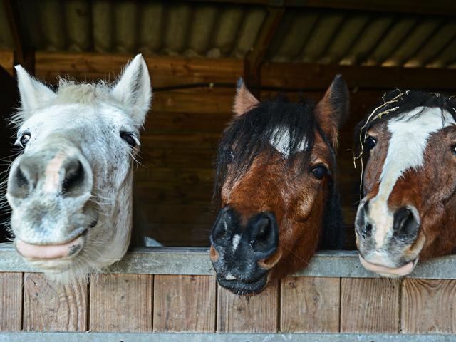 three horses looking out of a barn