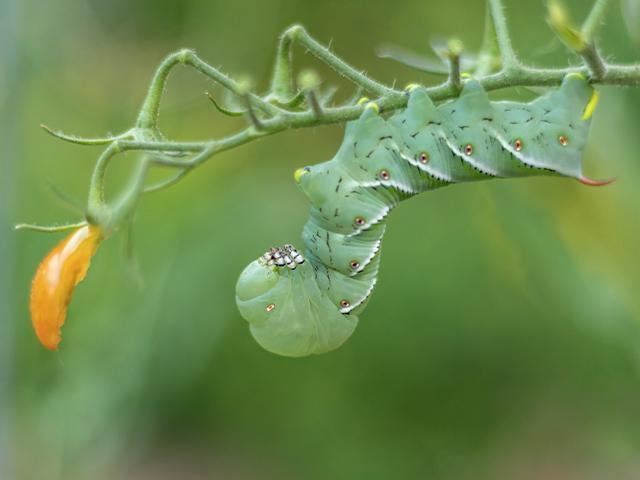 hornworm caterpillar on tomato plant
