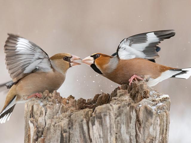 two-birds-fighting