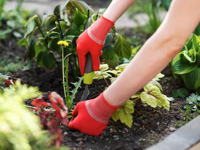 woman wearing garden gloves weeding out a weed from the flowerbed